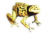 Dendrobates leucomelas Bolivar,