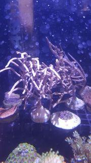 Meerwasser Gorgonien verschiedene größen