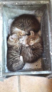 2 Katzenkinder männlich