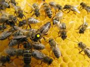 Bienen Wirtschaftsvölker aus