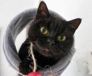 Bkh Katzendame sucht neues Zuhause
