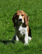 Beagle Welpe, Rüde,