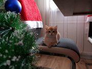 BKH Kitten jetzt reservieren