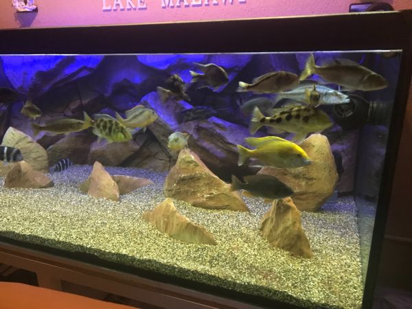 malawi aquarium 1540l in adelsdorf fische aquaristik kaufen und verkaufen ber private. Black Bedroom Furniture Sets. Home Design Ideas