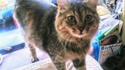 Maine Coon Kittenmix