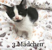 Sibirische Waldkatze Kitten mix