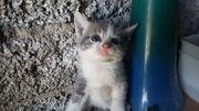 Katzen 8 Wochen alt zu