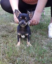Süße Chihuahuawelpen in Lang - und