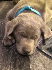 Labrador Hündin in Silber