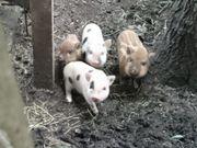 Süße Minischwein Ferkel