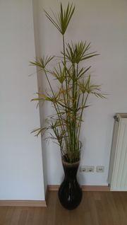 Seegras Zostera Zosteraceae