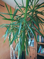 Schöne große Yucca-Palme