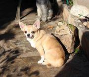 Chihuahuarüde Unikat mit