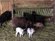 Verkaufe Schafstall Einrichtungen