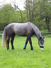 Connemara Pony Reitpferd