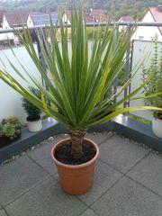 Kanarischer Drachenbaum (Dracaena