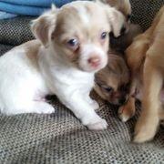 habe 3 Chihuahuas
