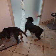 Hunde Welpen abzugeben