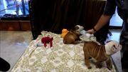 Englische Bulldoggen Welpen