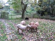 Schafsbock ( kein scheren)!
