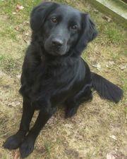 Wurfankündigung Labrador Retriever Golden Retriever
