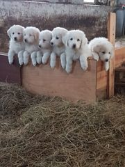 Reinrassige Pyrenäenberghunde abzugeben