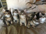 Norwegische Waldkatze Somali-Mix Kitten