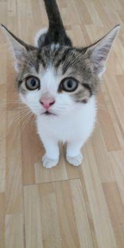 Katzenbabies mit Impfpass