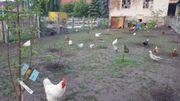 Verkaufe EIERN von Freilaufende Hühnern