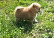 Pomeranian Boo Chihuahua