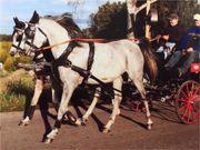 Pferdegeschirr Zweispänner - Marathongeschirr,