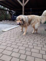 Kaukasische Schäferhunde