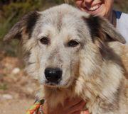 Jane, Pyrenäenberghund Mischling,