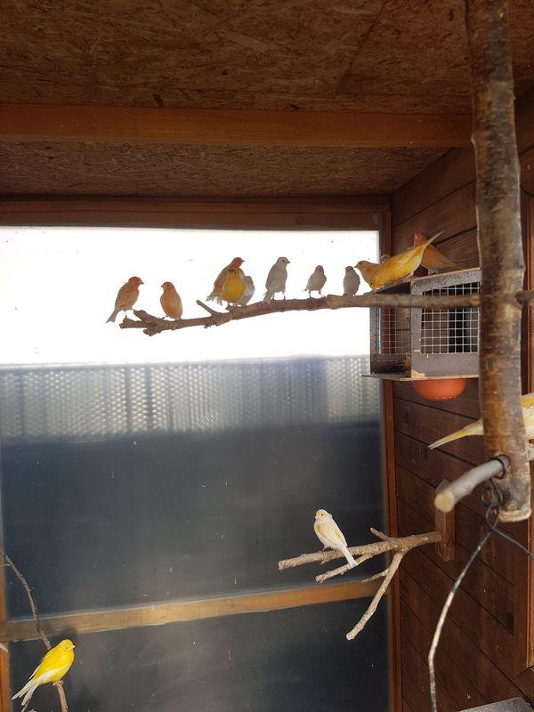Kanarienvögel zu Verkaufen