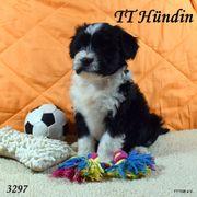 4 Tibet Terrier