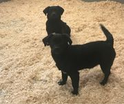 Zuckersüsse Labrador / Cocker