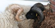 3 Rasenmäher-Schafe (
