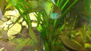 Friedliche blaue Buntbarsche