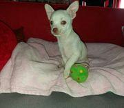3 Kurzhaar Chihuahua Welpen Rüden
