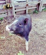 Minischweine auf Kurzborste von geprüfter