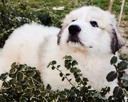 Pyrenäenberghund Welpen FCI