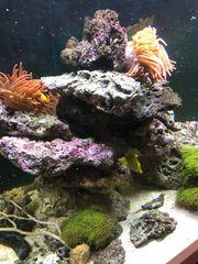 Lebendgestein für Meerwasseraquarium abzugeben
