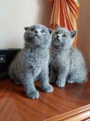 2 wunderschöne BKH-