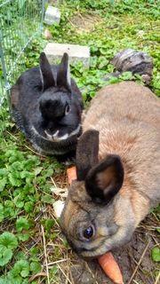 Zuckersüße Zwergkaninchen, Kaninchen