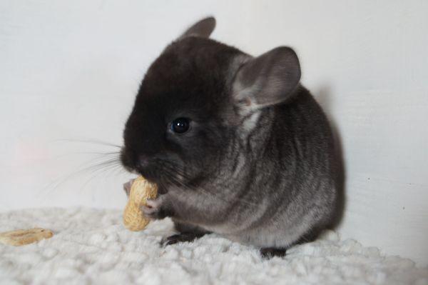 Chinchilla aus Hobbyzucht » Kleintiere