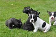Französische Bulldogge Welpen Blue and