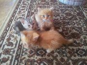 Katzenbabys, kitten , Perser -