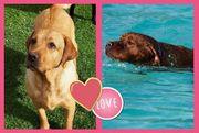 Labrador Welpen gelb &