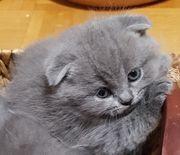 BKH-Kitten suchen