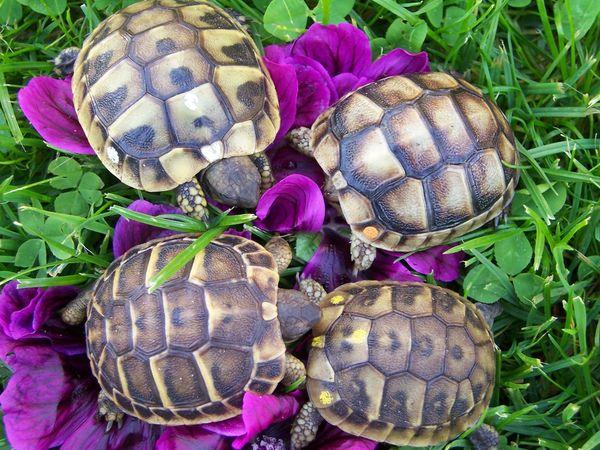 Landschildkröten Thh Thb Tm herci